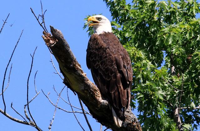 bald eagle at Pool Slough IA 653A0545