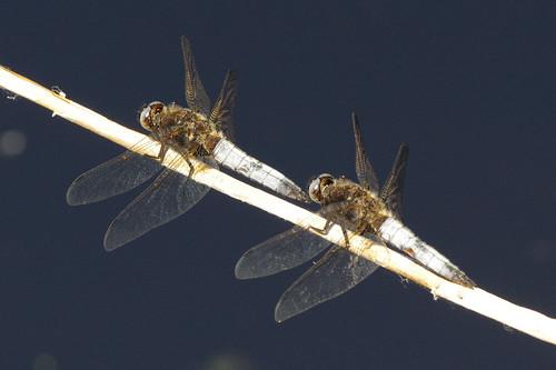 cambridgeshire libellulafulva woodwaltonfen dragonfly insect nature scarcechaser wild wildlife