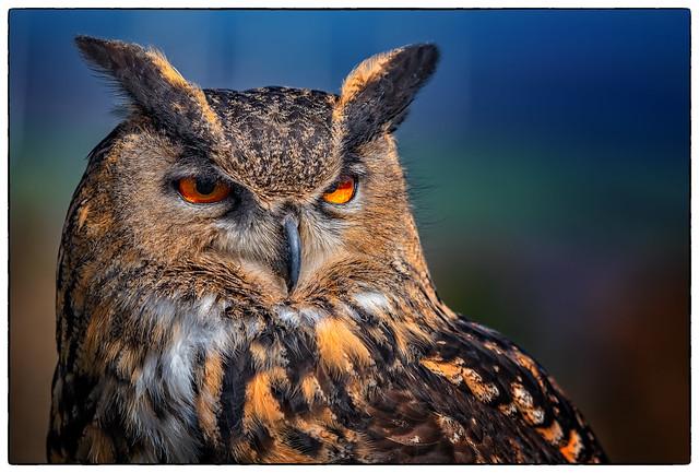 Eagle-Owl (Bubo bubo)