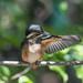Kingfisher -202007021105.jpg