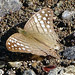 Marpesia merops - Tamandua (Costa Rica)