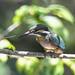 Kingfisher -202007021208.jpg