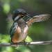 Kingfisher -202007021305.jpg
