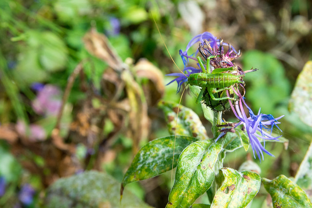 Grasshopper on cornflower.