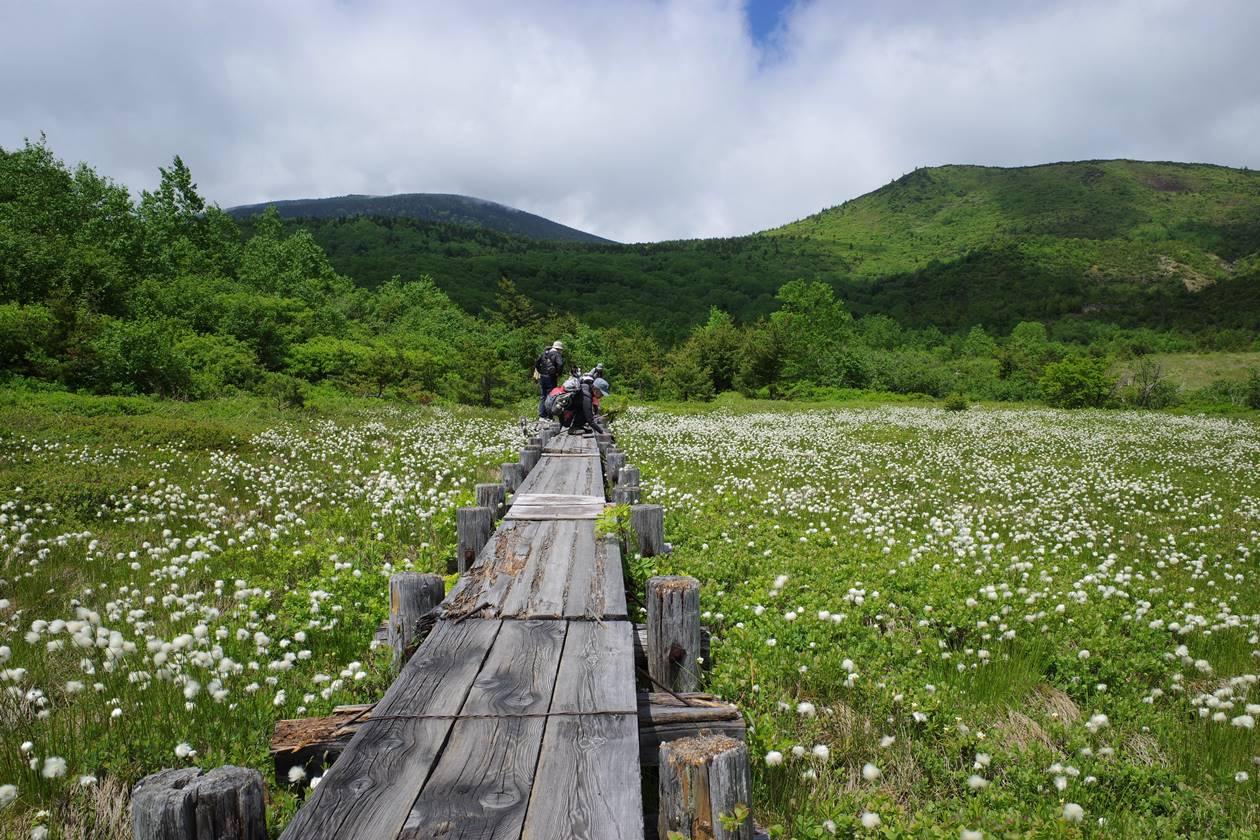 浄土平湿原のワタスゲ
