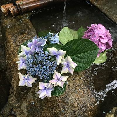 庭の筧の紫陽花