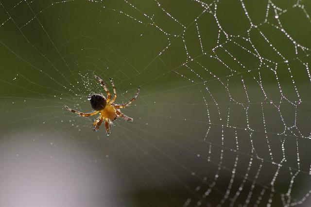 Spinne im Netz mit Wassertropfen