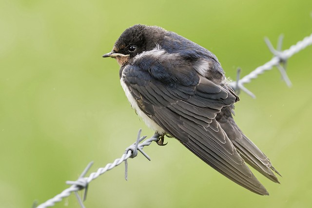 House Martin fledgling