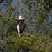 Bald Eagle-3.jpg