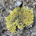 Lichen on an ash tree on Kaivopuisto shore