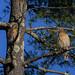 Red Shouldered Hawks-6.jpg