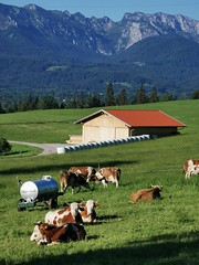 Cow Pasture Mountains Alps Forealps Upper Bavaria Germany © Kuh Weide Voralpenland Berge Bayern Oberbayern ©