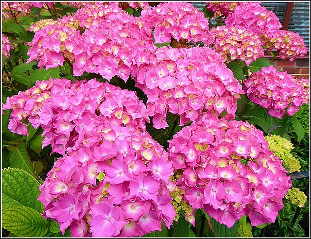 Beautiful Hydrangea Shrub ..