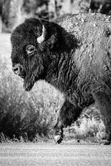 Bison, Grand Teton National Park. May, 2020.