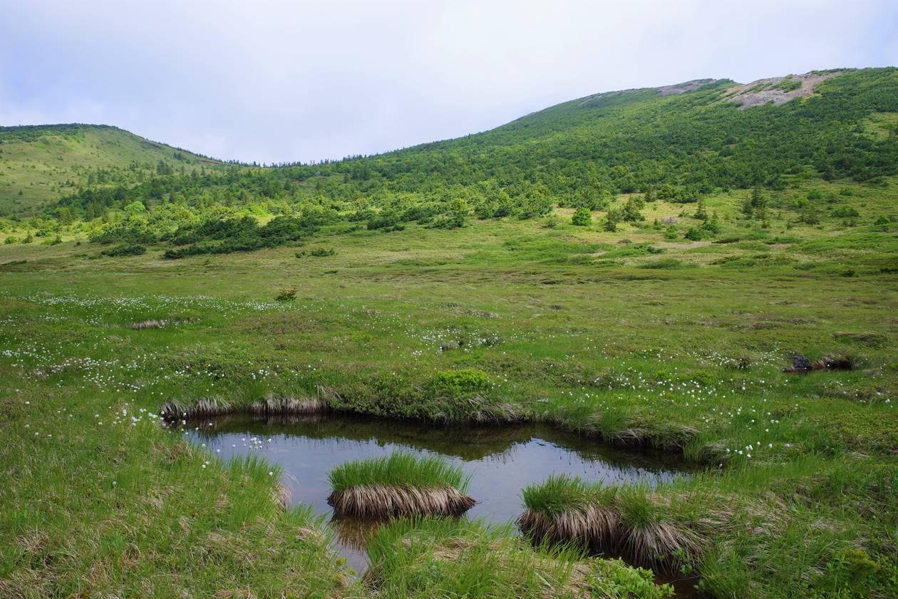 酸ヶ平湿原のワタスゲ