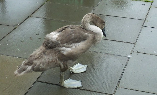 Swans Family 102