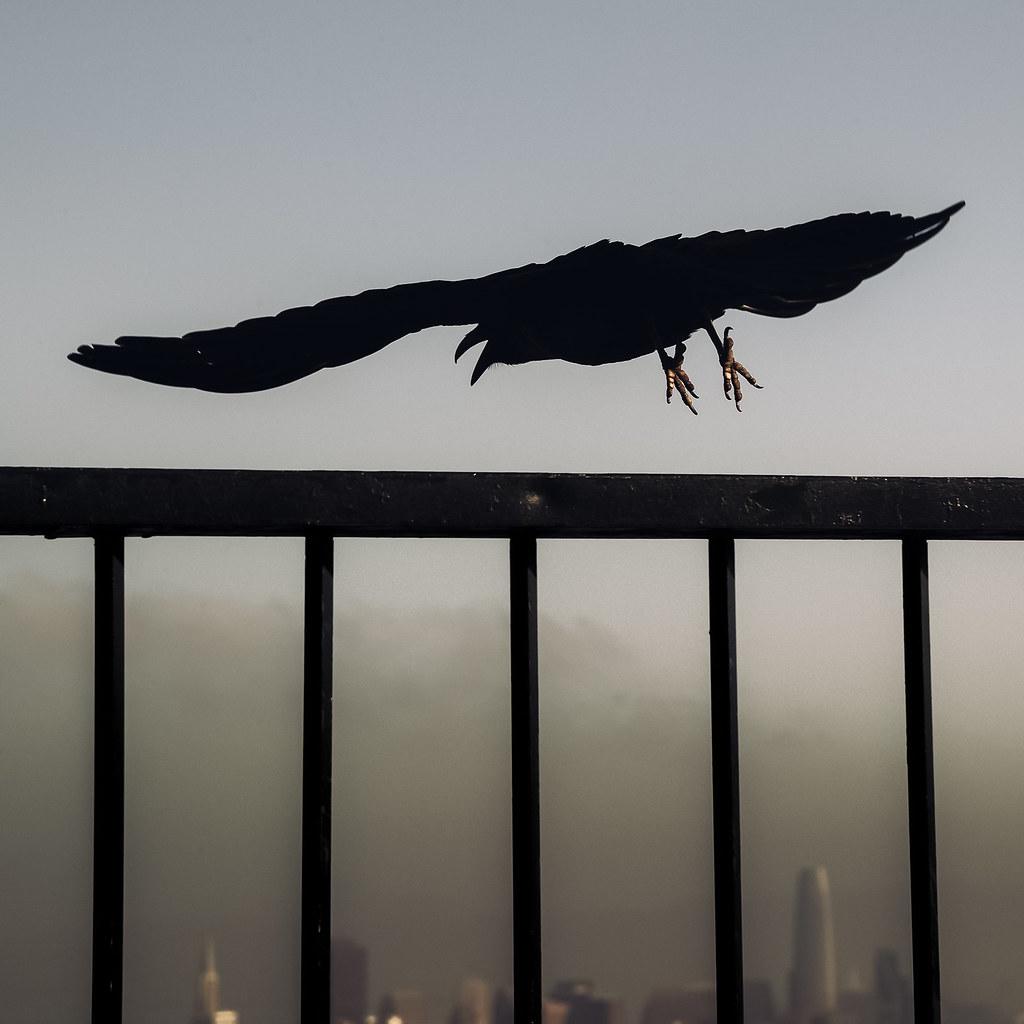 san francisco raven 01