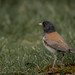 Fleeting junco