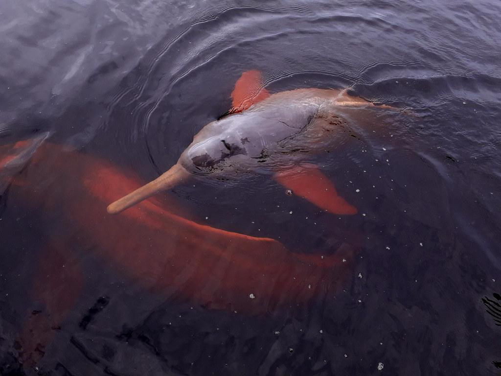 Pink Dolphin (Inia geofrensis) boto-cor-de-rosa