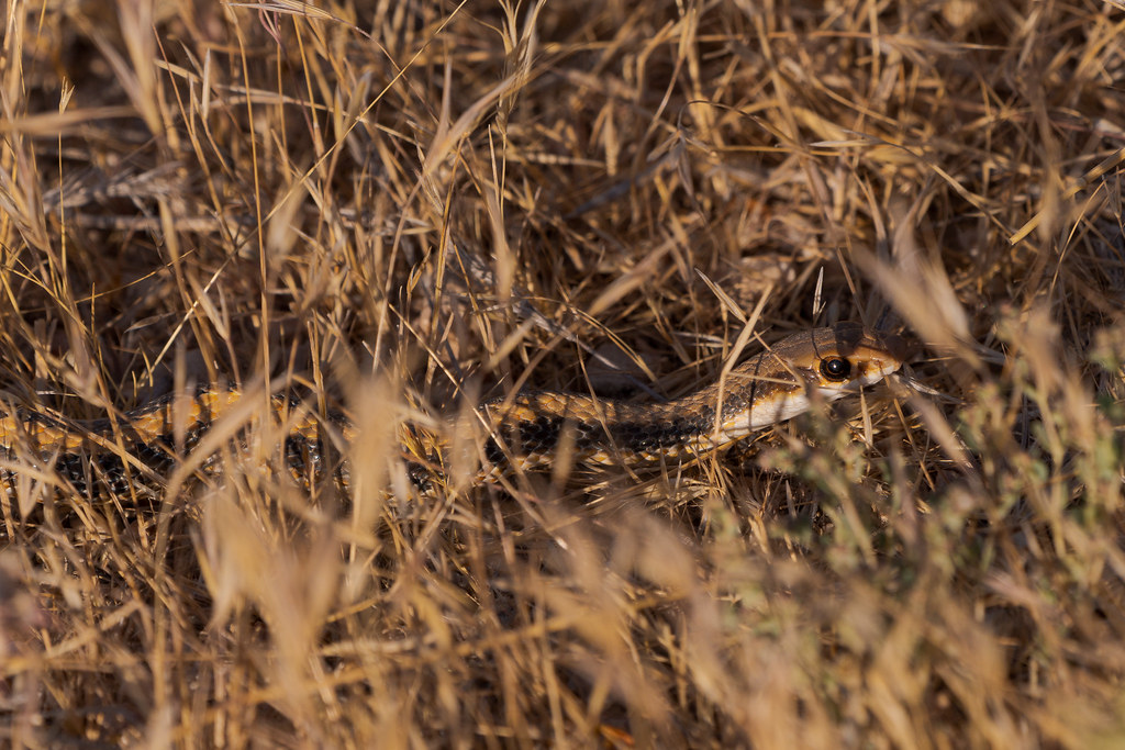 The head and upper body of a western patch-nosed snake it partly hidden in grass on the Chuckwagon Trail in McDowell Sonoran Preserve in Scottsdale, Arizona in June 2020