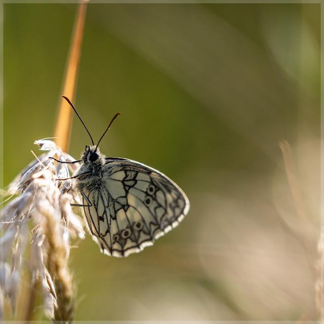 Nymphalidae_92464