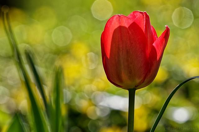 Tulip - Tulipe