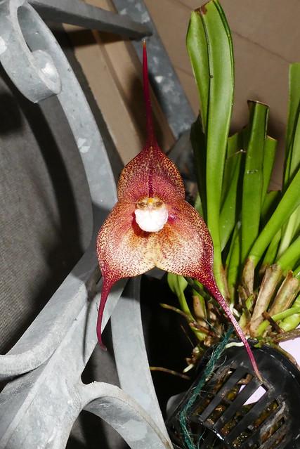Dracula Quasimodo primary hybrid orchid