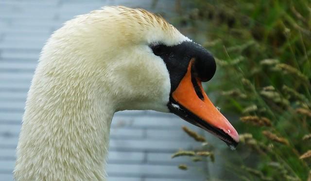 Swans Family 108