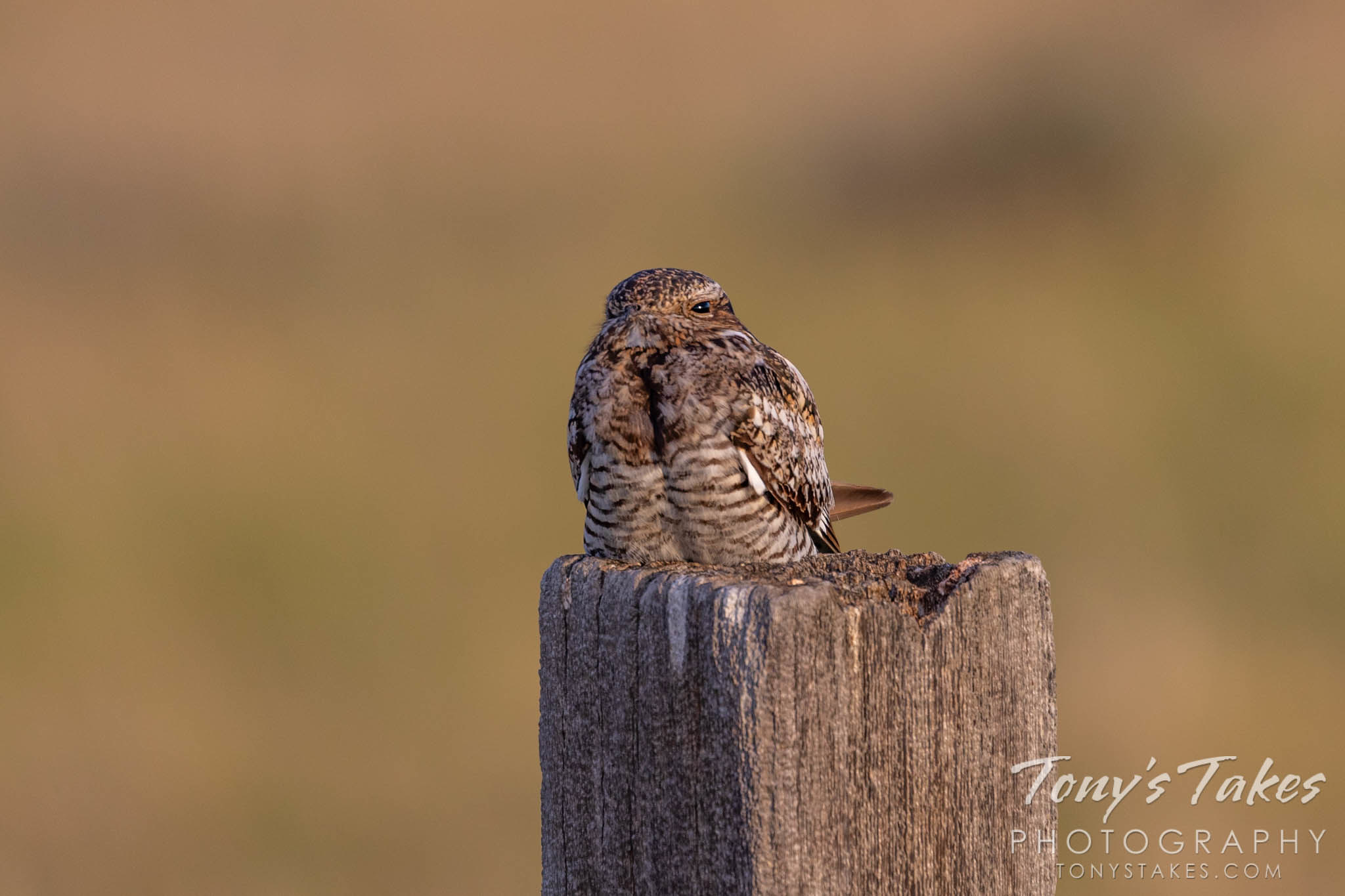 Sleepy common nighthawk