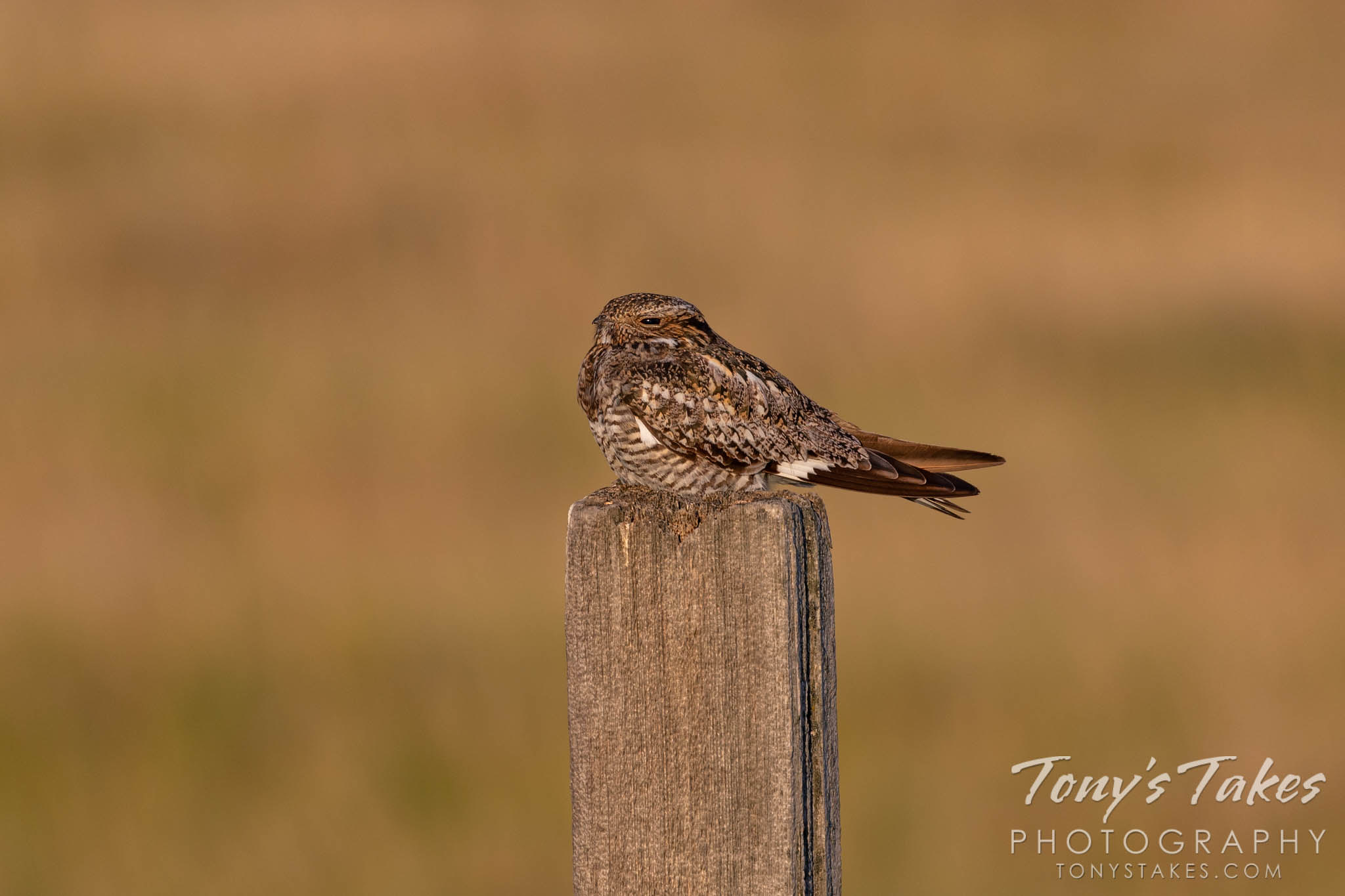 A common nighthawk hangs out on a fence on the Colorado plains. (© Tony's Takes)