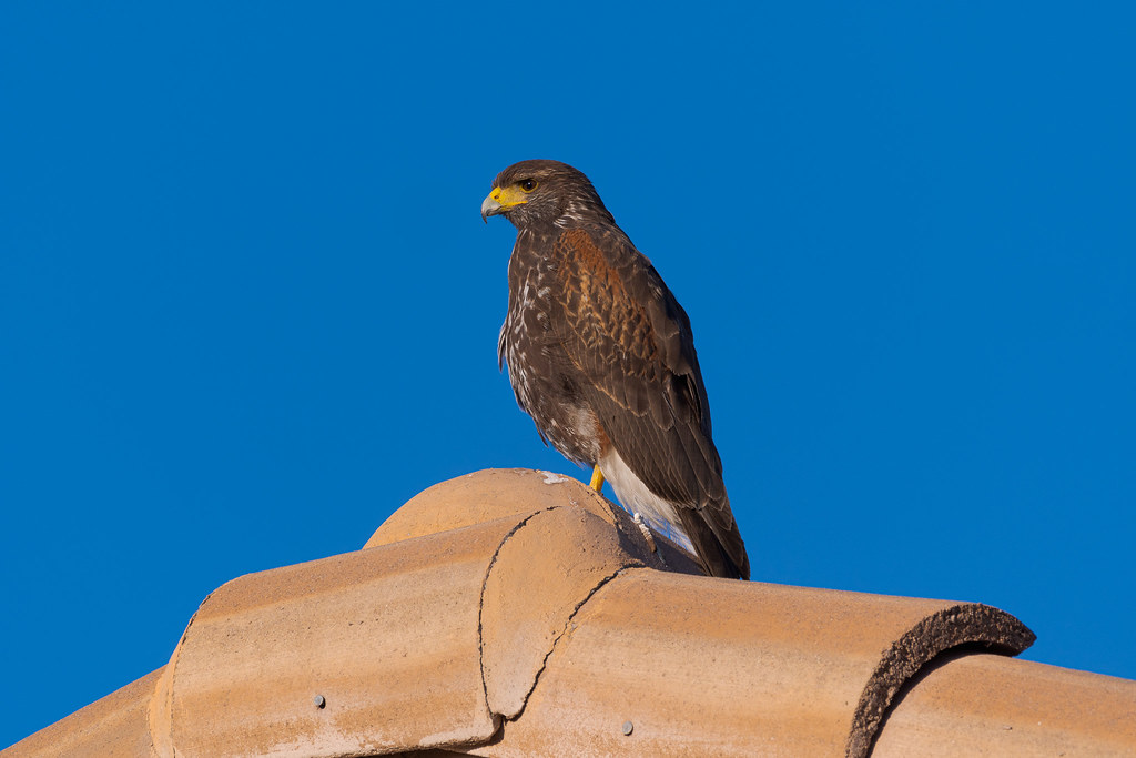 A juvenile Harris's hawk perches on a rooftop in the Troon area of Scottsdale, Arizona in Apri 2020