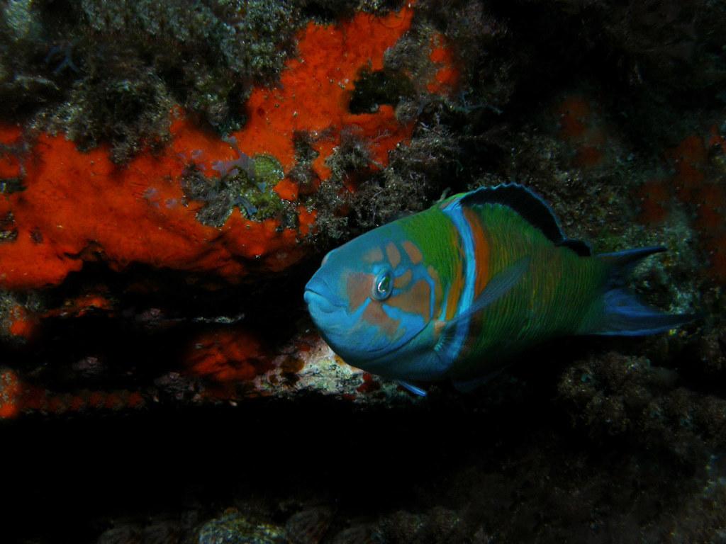 Pejeverde(Thalassoma pavo)