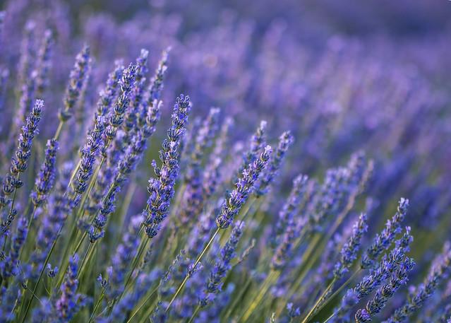 Nevena Uzurov - Lavender