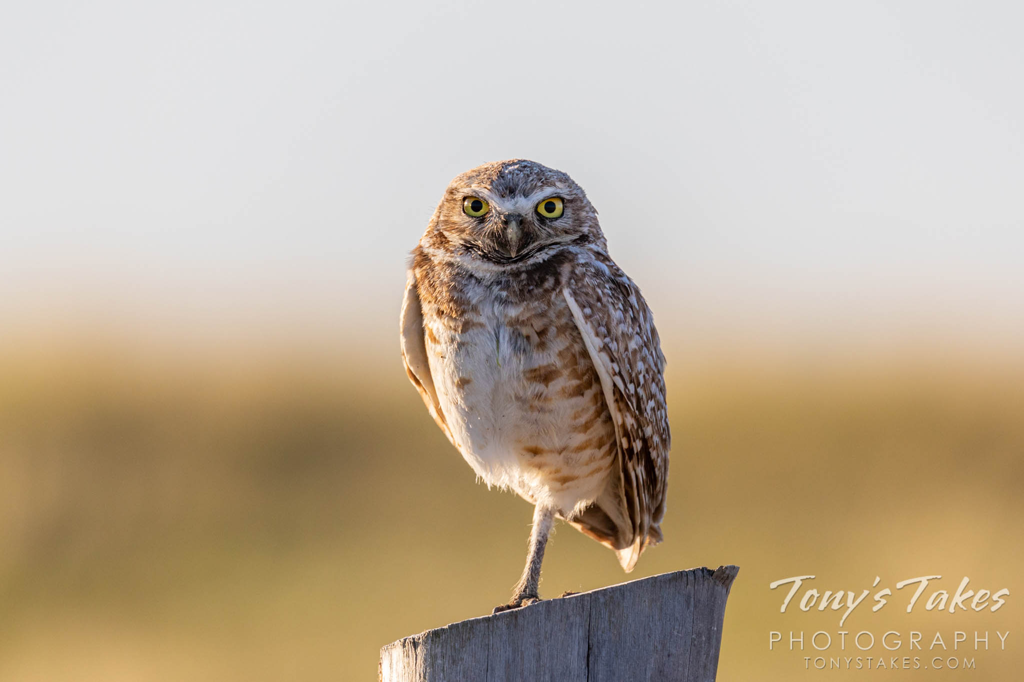 "Thursday's ""post"" – with a bonus burrowing owl"