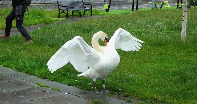 Swans Family 103