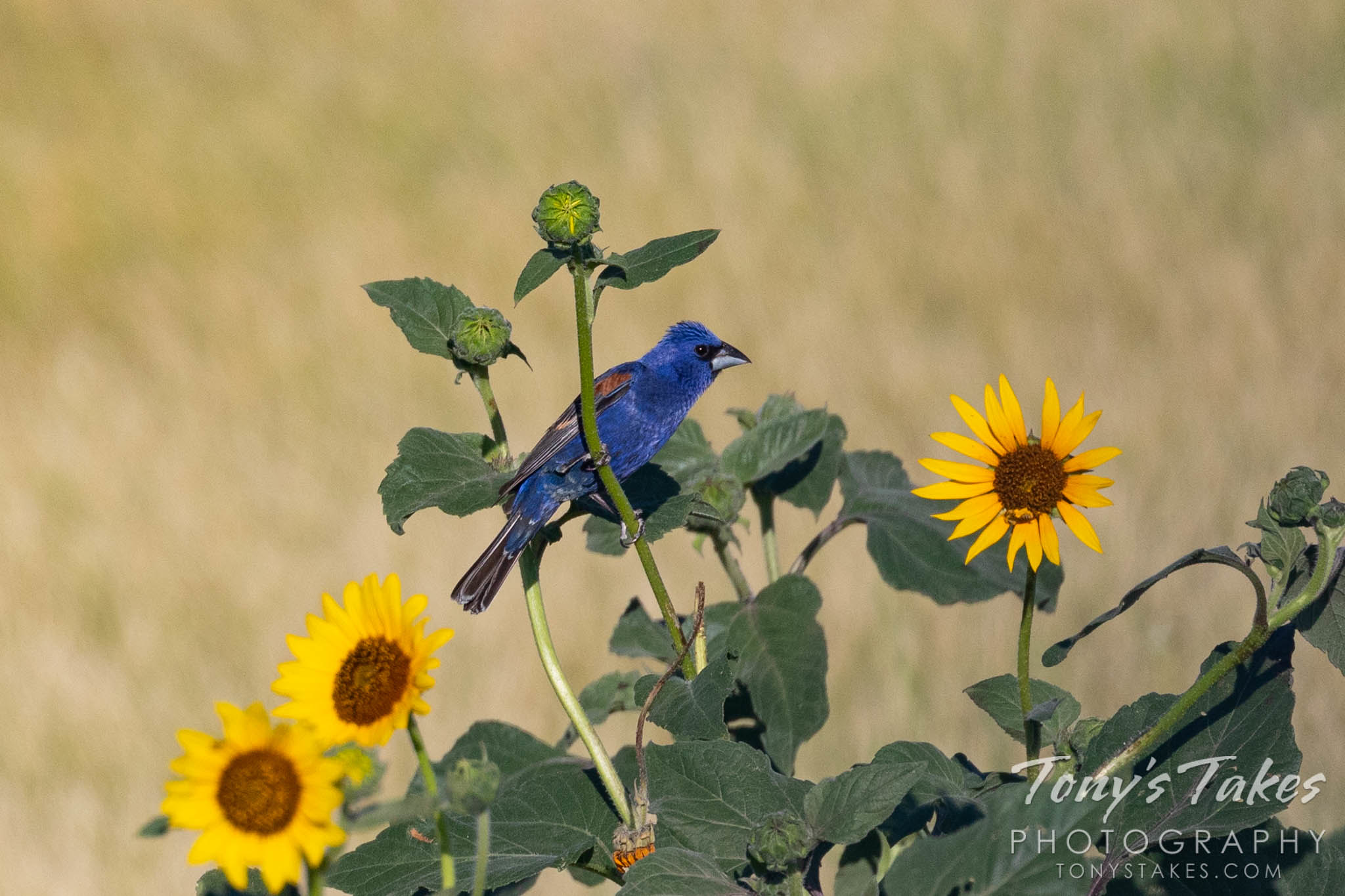 A blue grosbeak perches on some wild sunflowers. (© Tony's Takes)