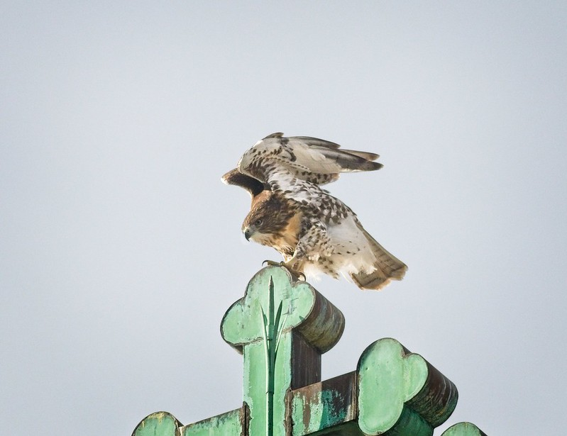 Tompkins Square red-tail fledgling stretching on a church cross