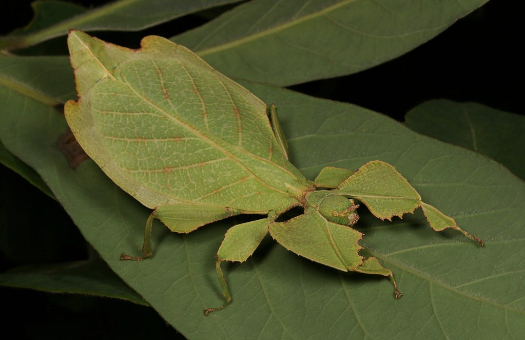 Leaf Insect, female (Phyllium sp. (celebicum group), Phyll… | Flickr