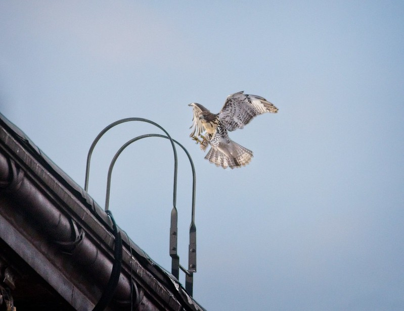 Tompkins Square red-tail fledgling hops to a fire escape