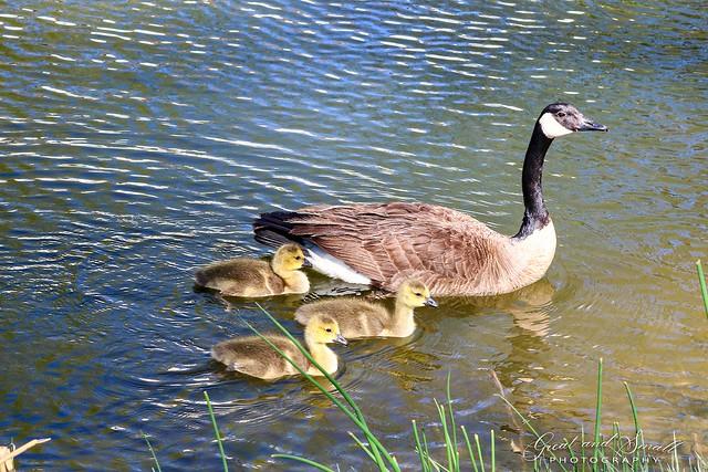 Proud Mama Goose