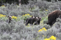 Baby grizzly bears!