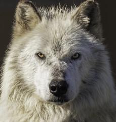 Grey Wolf - Yellowstone NP