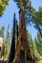 Sequoia and its shadow