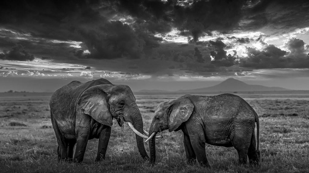 2 éléphants face à face bw-2