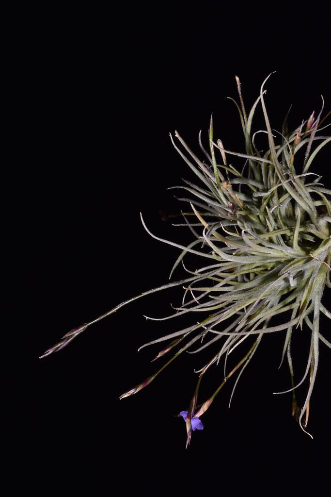 3 juillet 2020 - Tillandsia bandensis