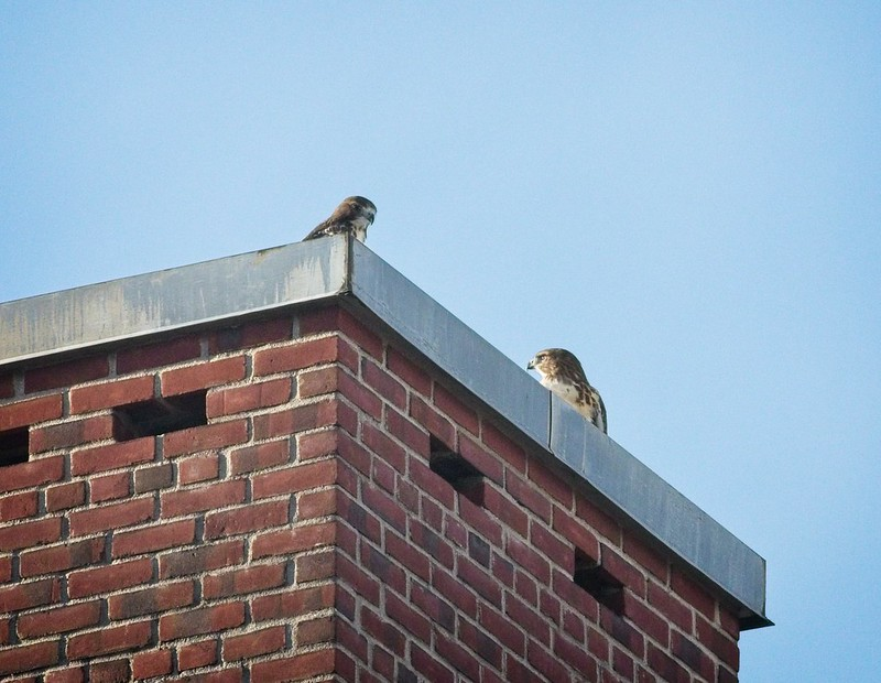 Fledglings exploring rooftops together
