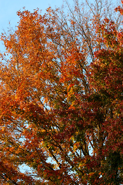 The dying maple, in full color 3 seasons ago