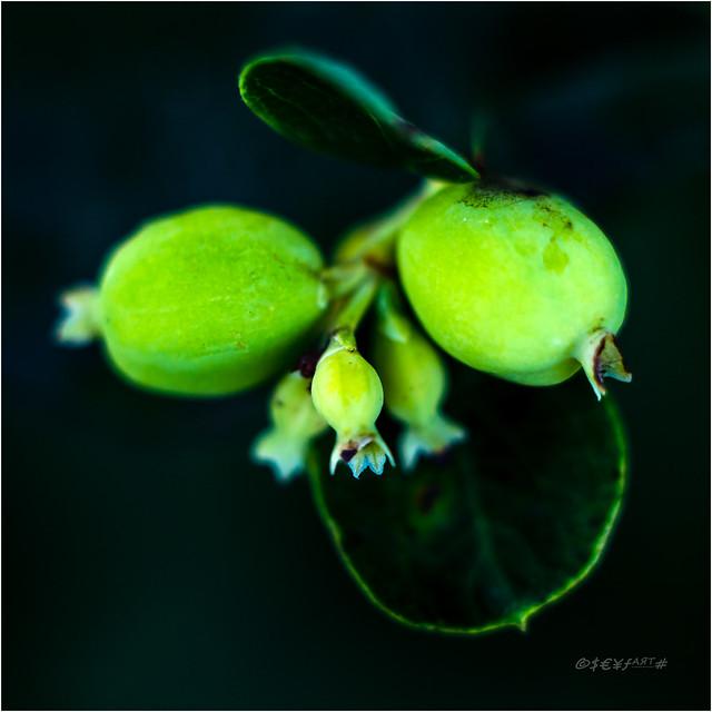 Schneebeere (Symphoricarpos albus)