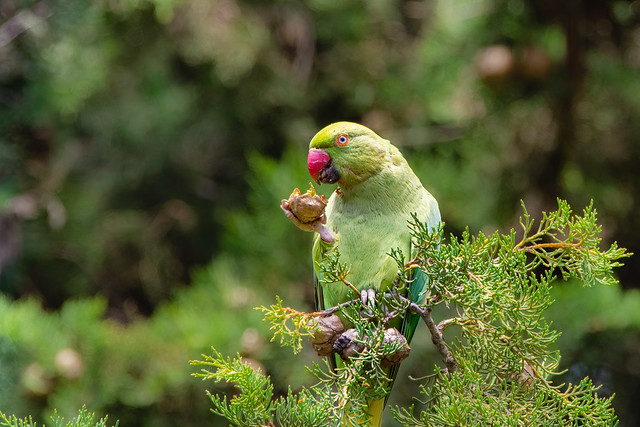Rose-ringed Parakeet . Perruche.France