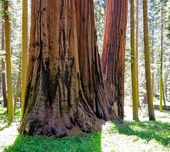 Giant sequoia in a meadow
